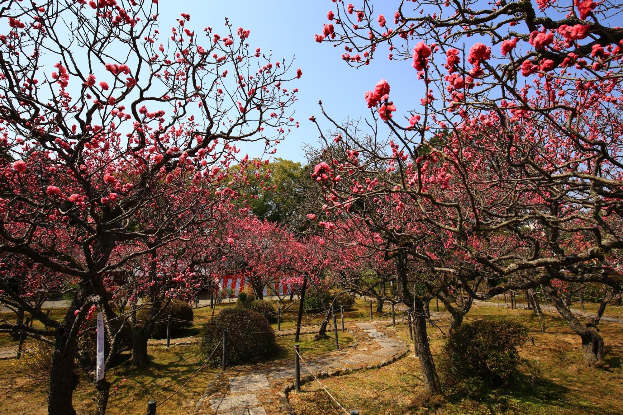 満開の梅の花につつまれた春の小野梅園
