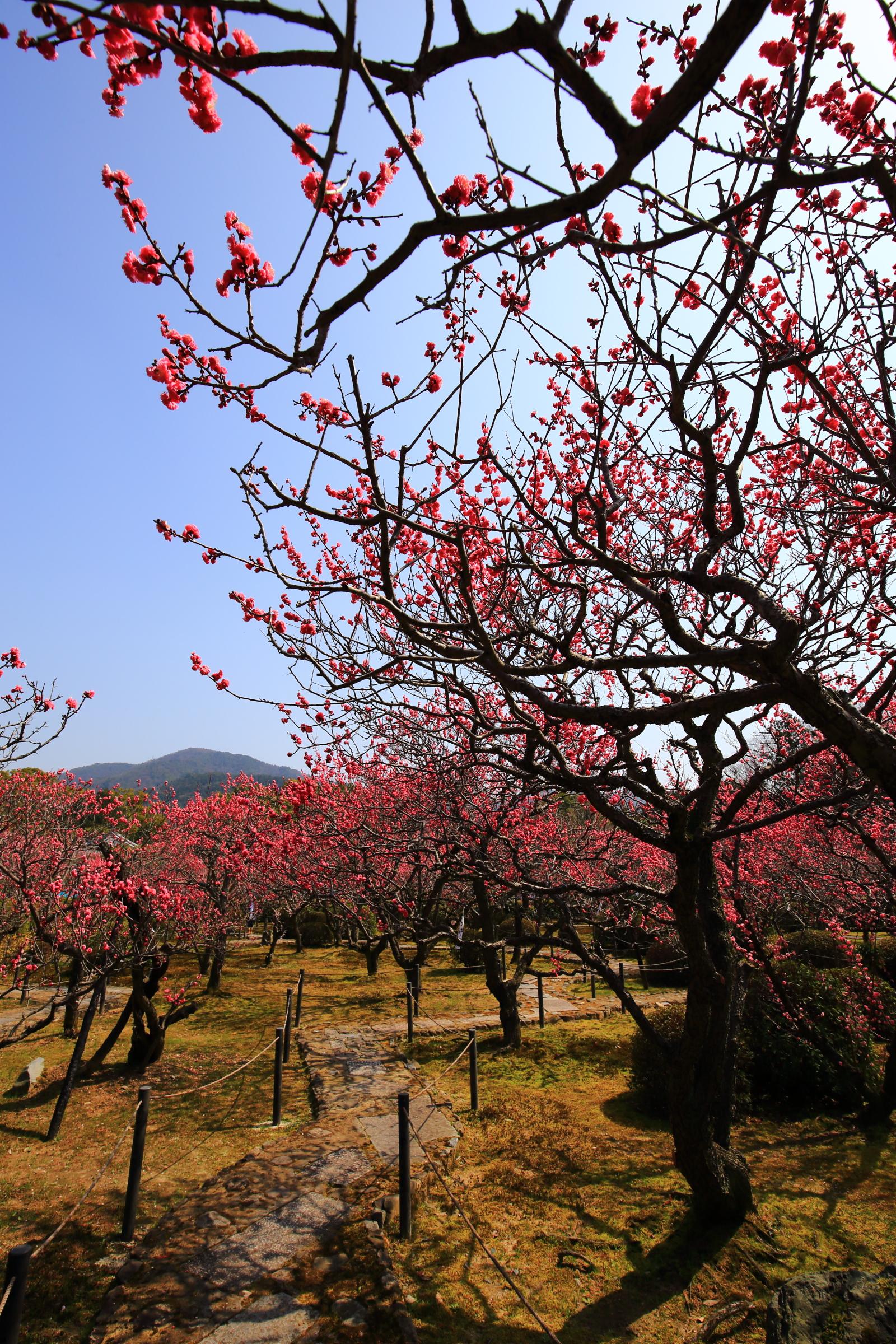 随心院の小野梅園の素晴らしい梅の花と情景