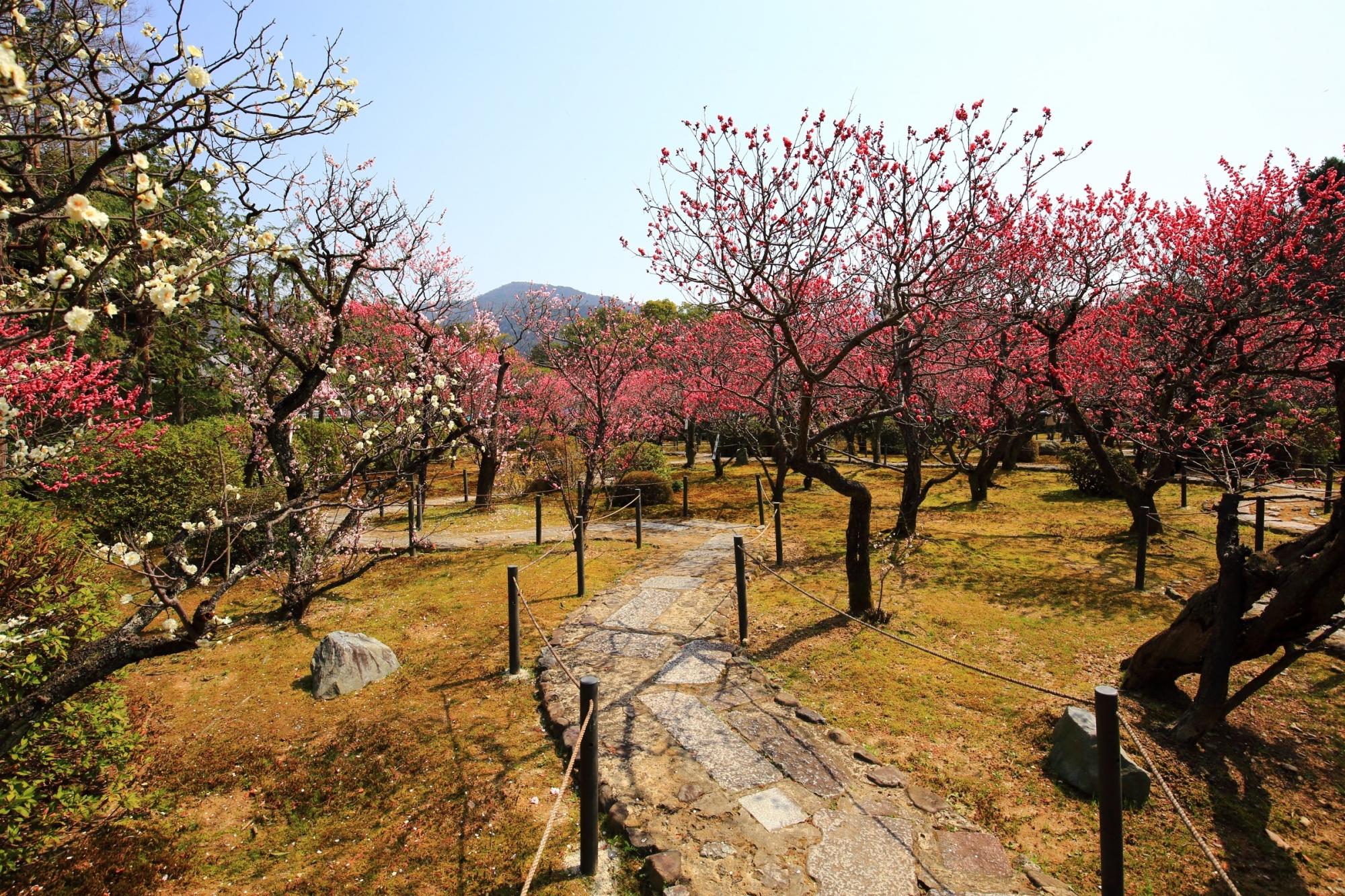 紅白の梅にそまった予想以上に凄い小野梅園