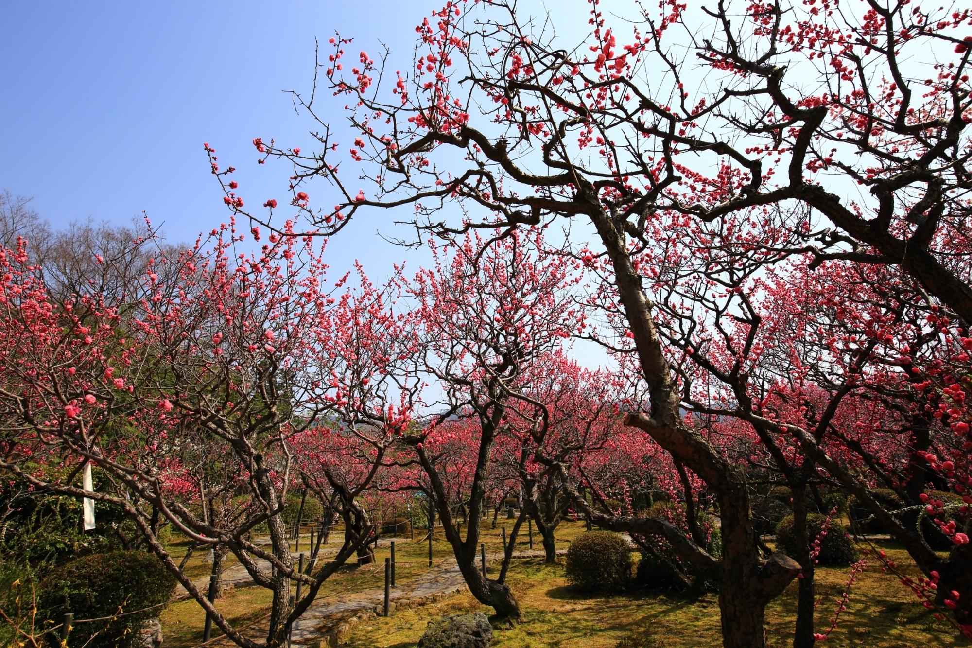 自然の造り出す芸術的な枝と綺麗な梅の花