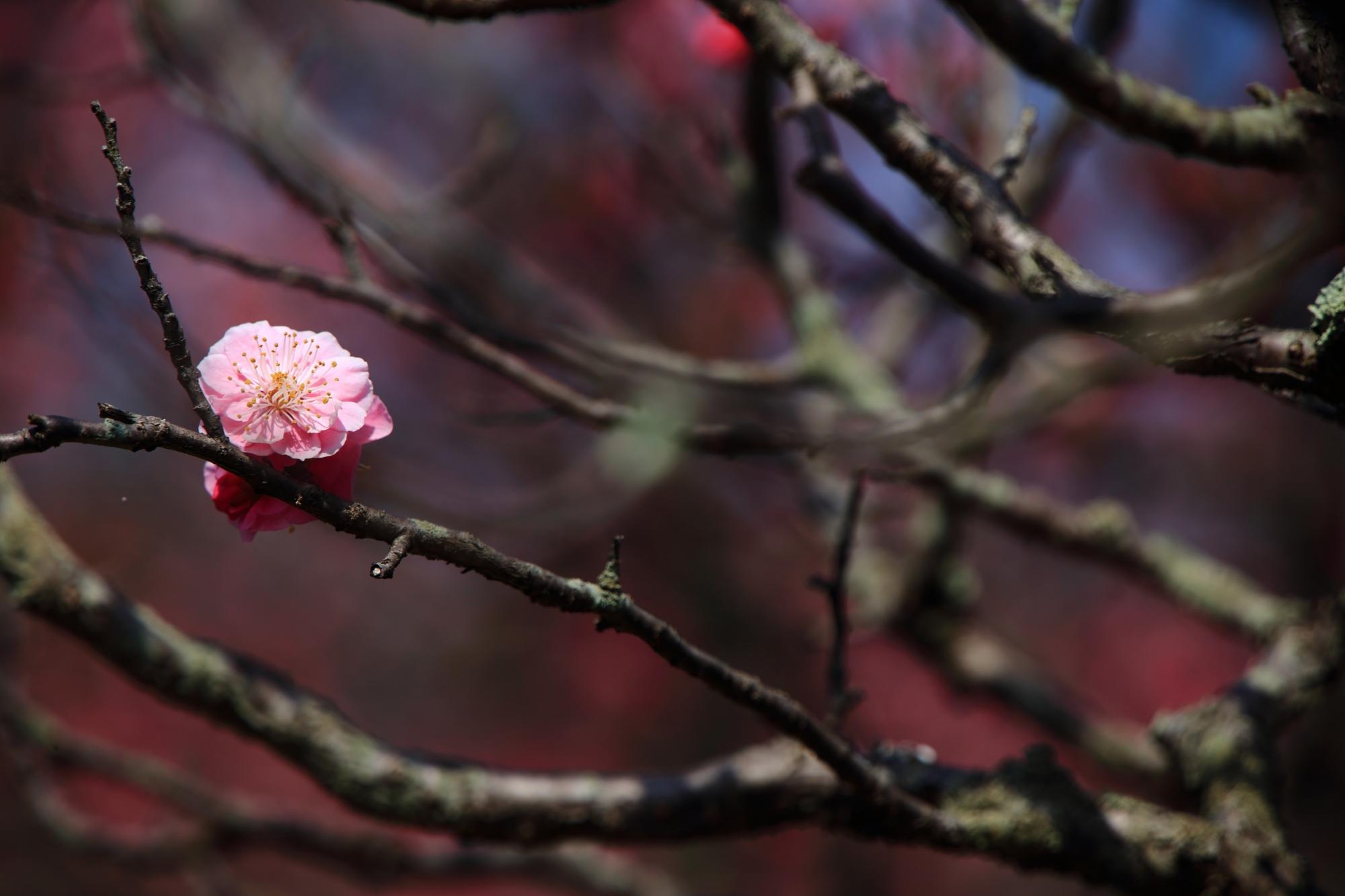 ポツンと離れて咲く情緒ある梅の花