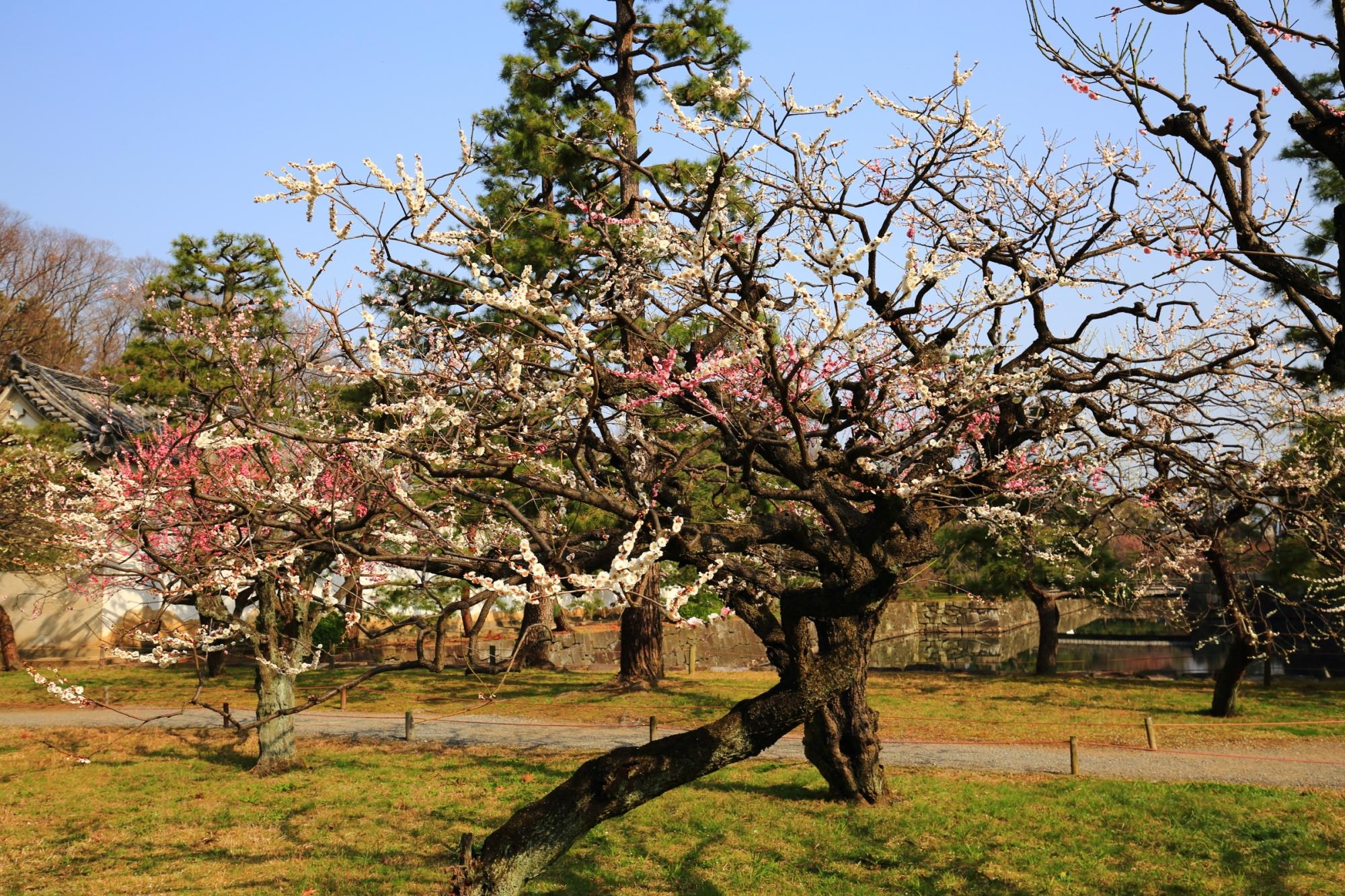紅白の梅の花が一本の木に咲く源平咲き分けの梅