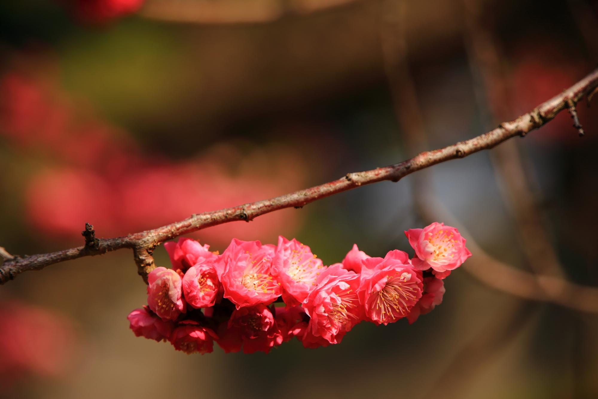 種類だけでなく咲き方も様々な梅