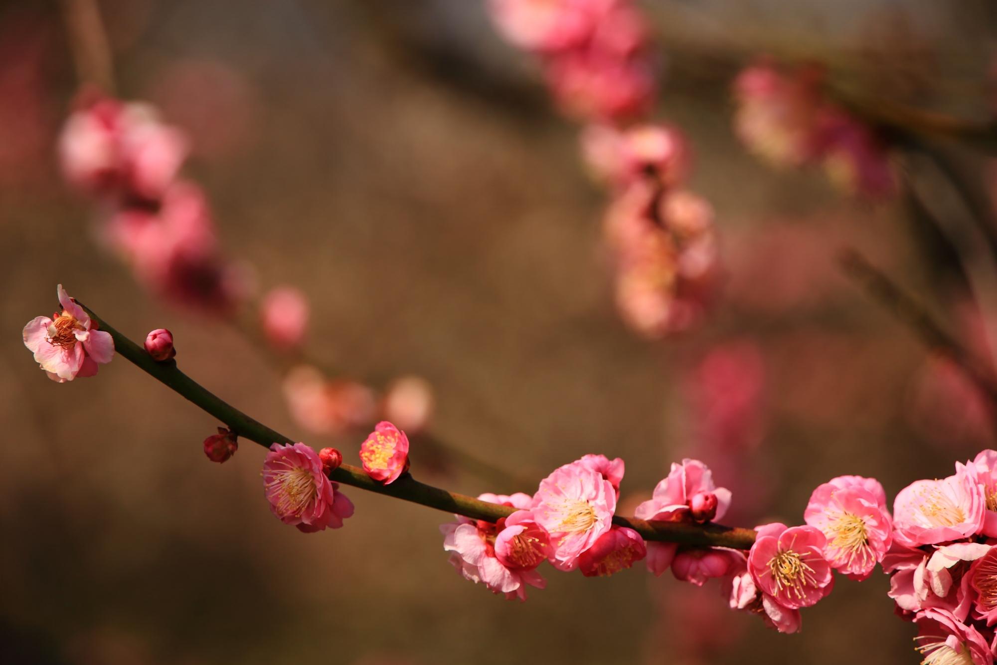 控えめに上品に咲く可愛い梅