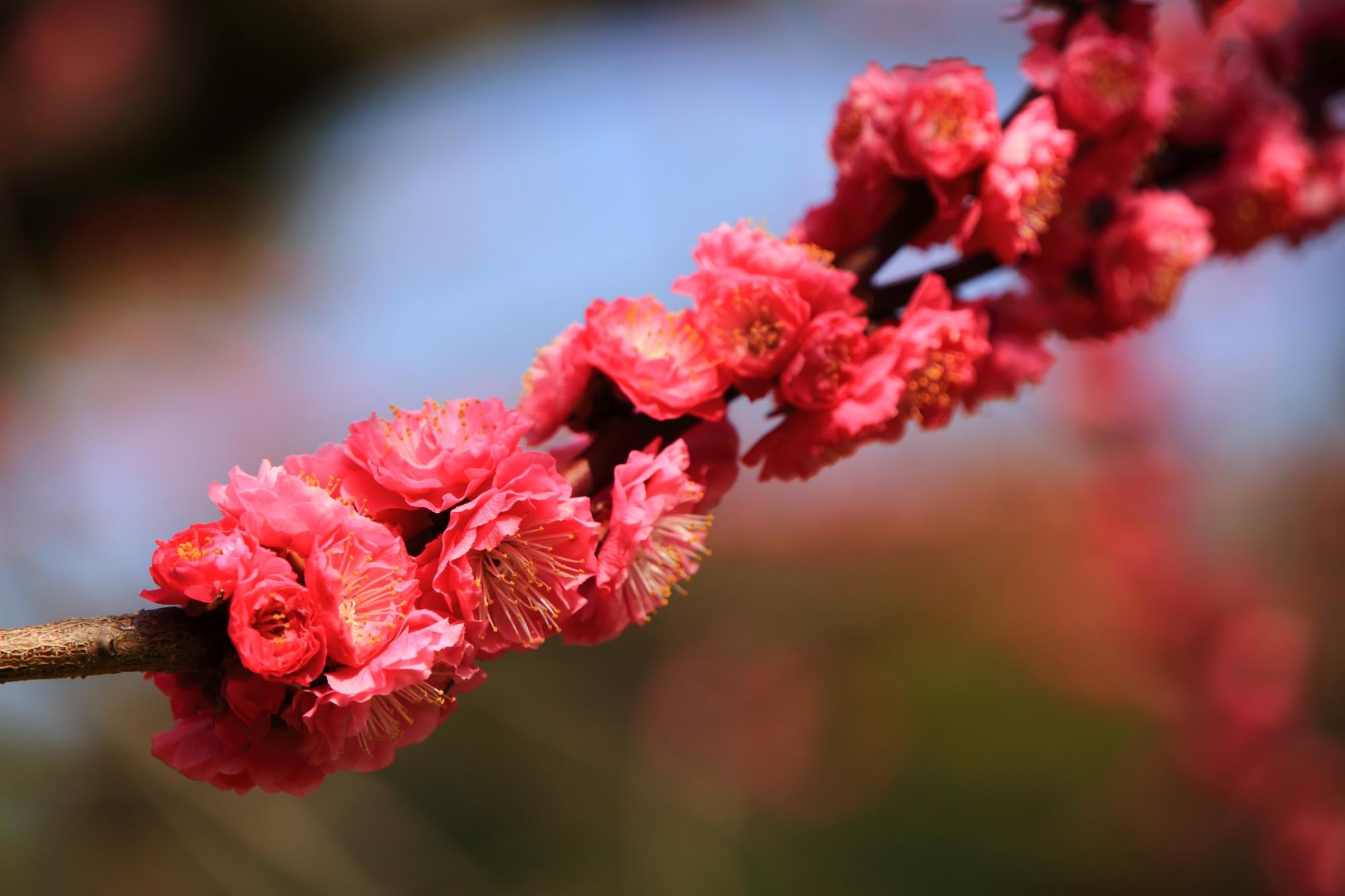 枝に所狭しと咲き誇る梅の花