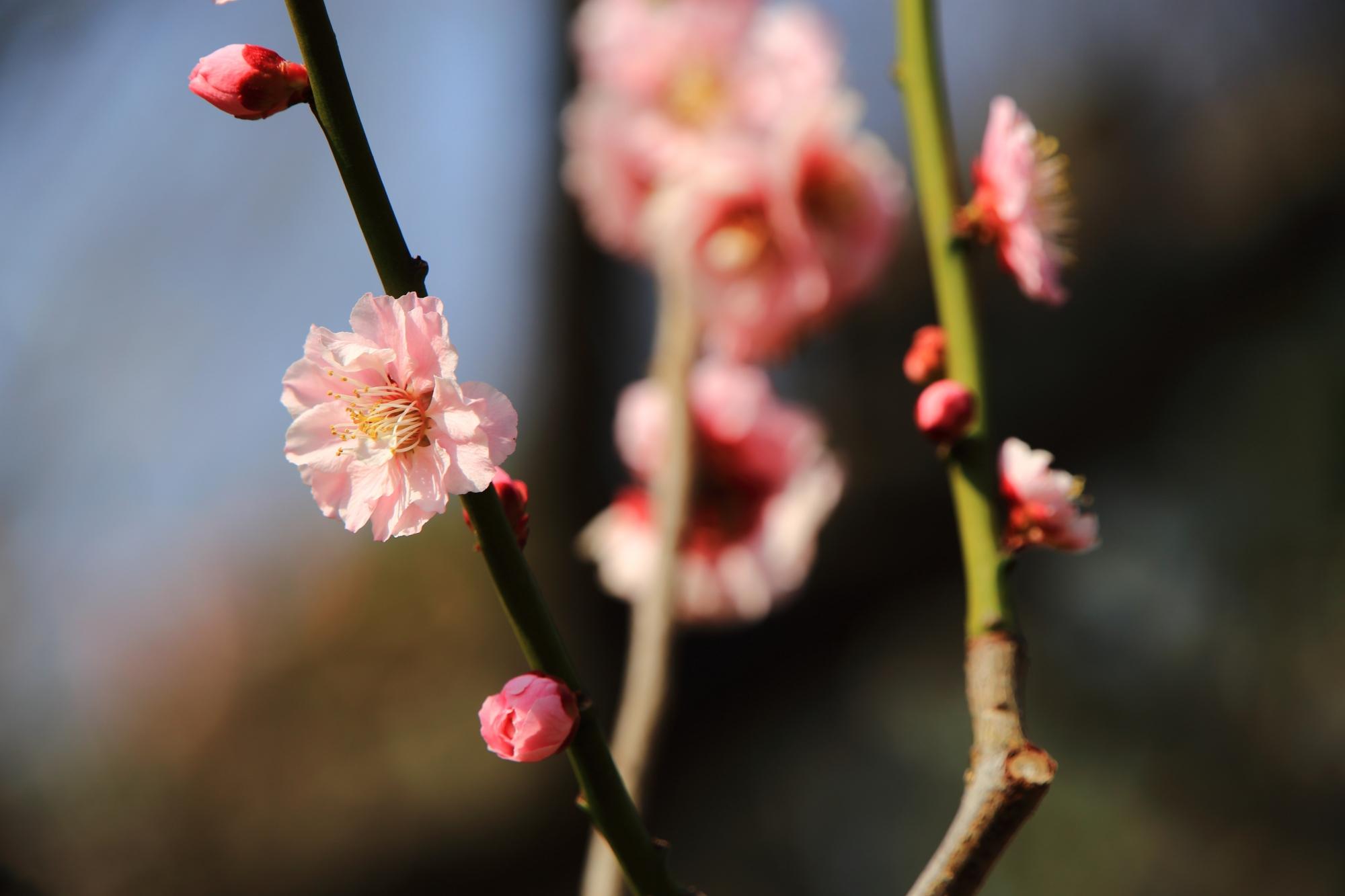 薄いピンクの華やかな梅の花