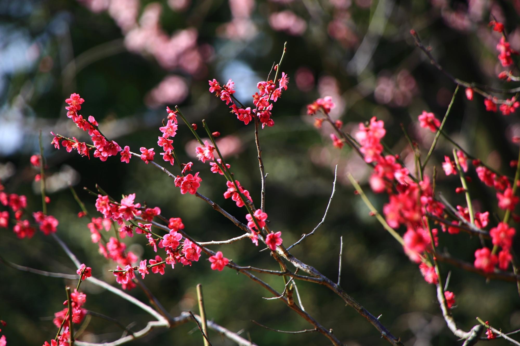 鮮やかな可憐な梅の花