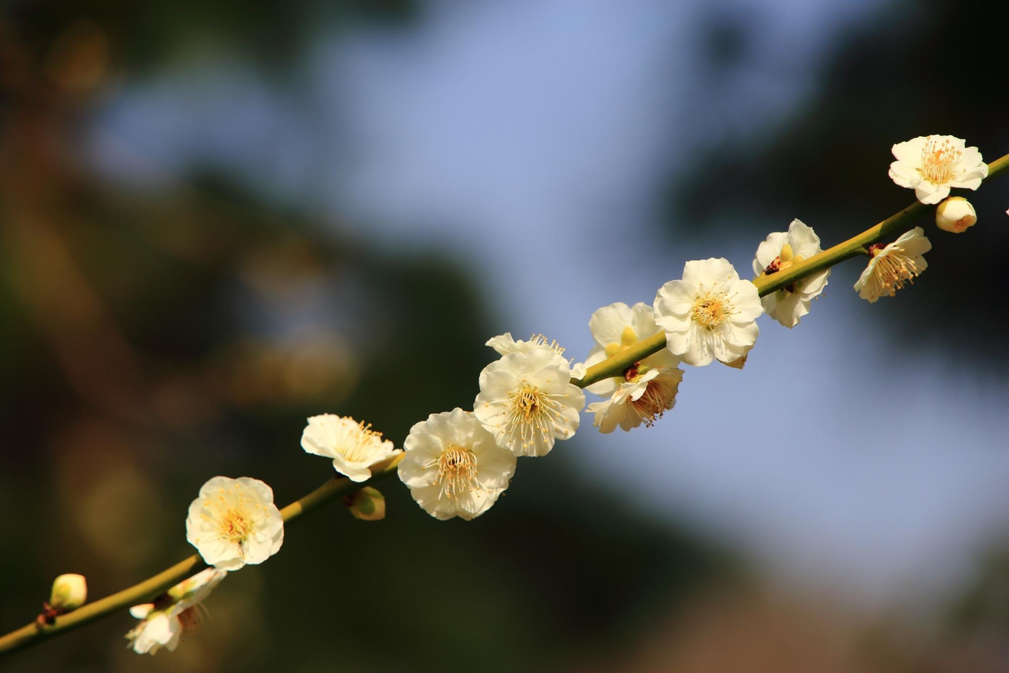 やや黄色がかった淡い優しい色合いの白い梅の花