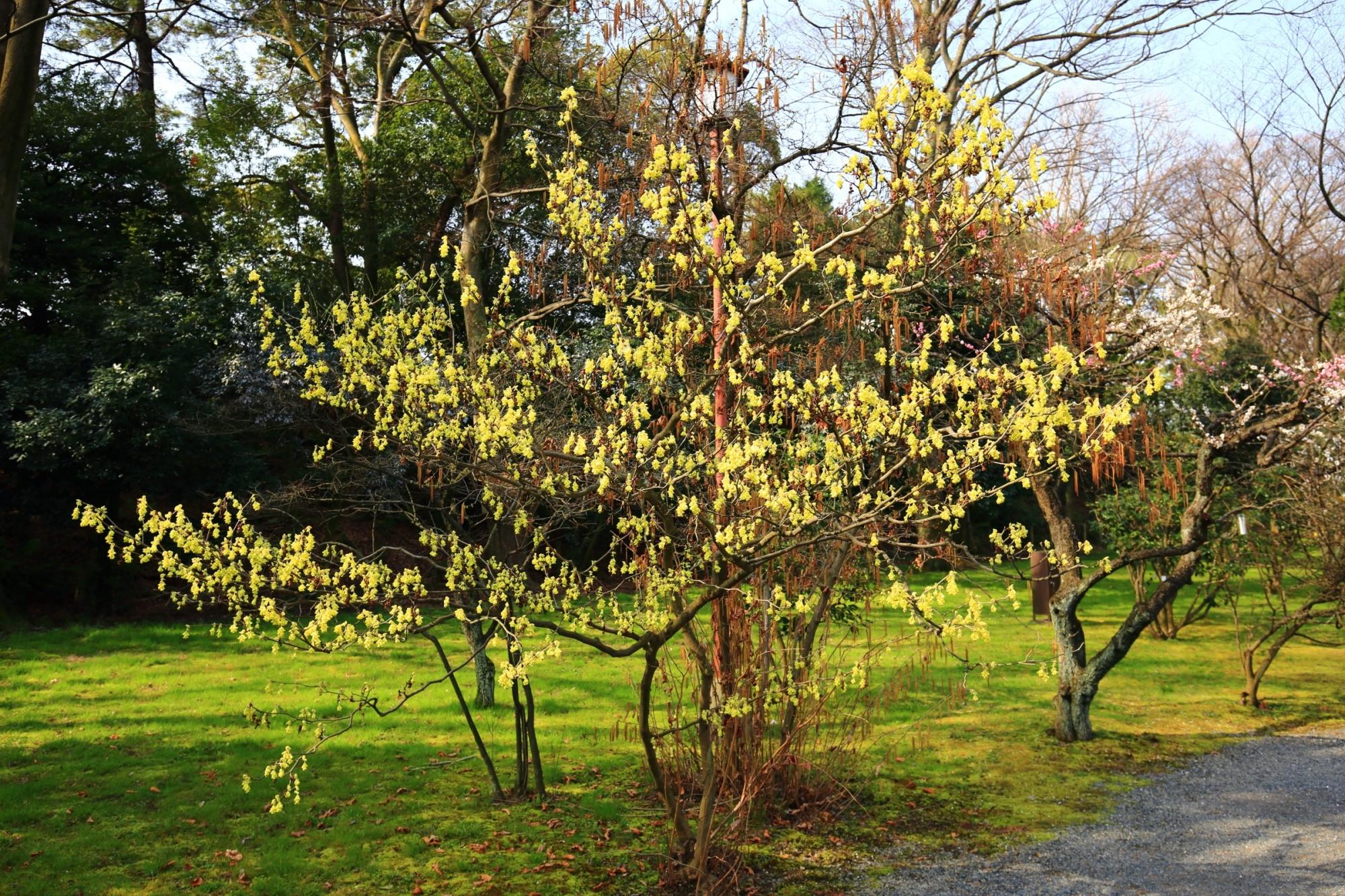 梅林の一角にあるトサミズキの木