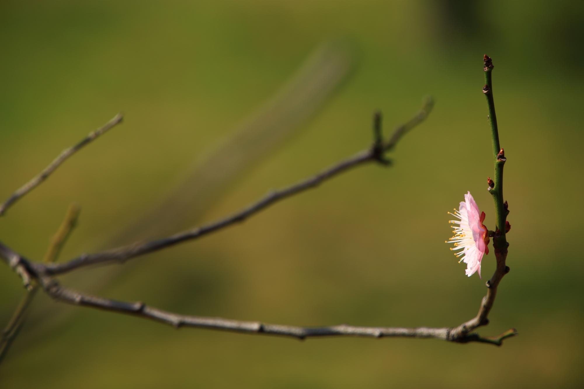 一輪だけポツンと咲く趣きある梅の花