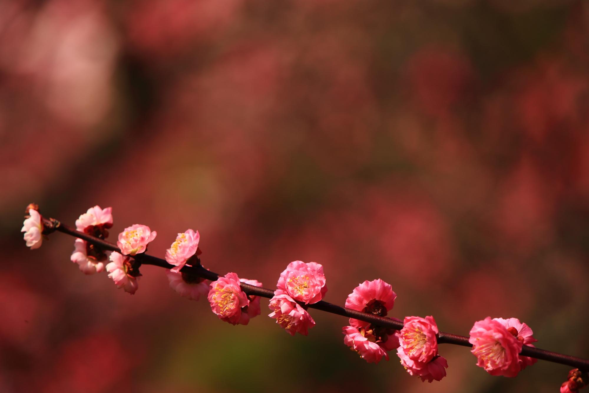 等間隔で咲く梅の花