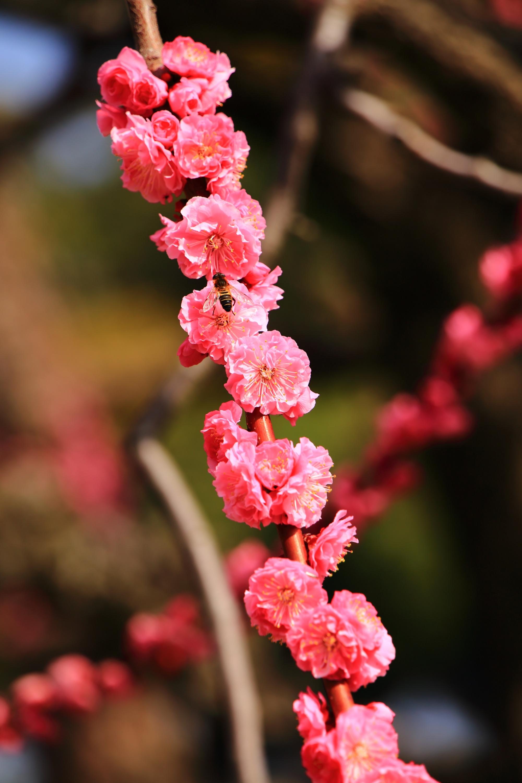 蜂が大好物な梅の花(蜜)