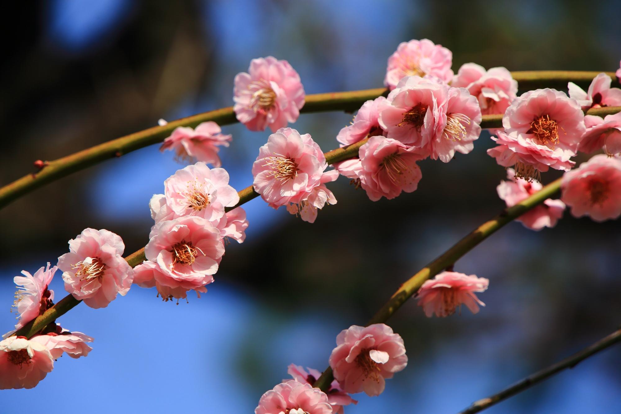 梅林を華やかなピンクに彩る梅