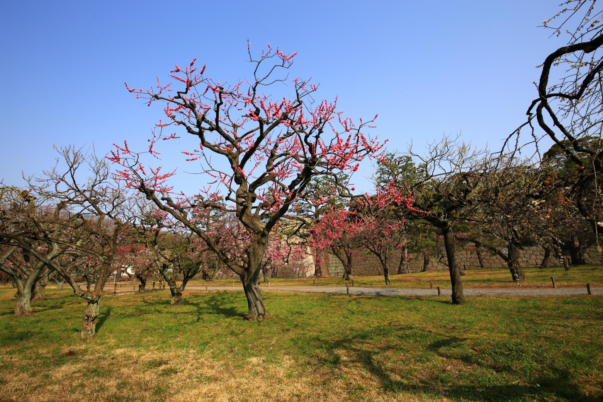 青空に映える梅林のたくさんの梅