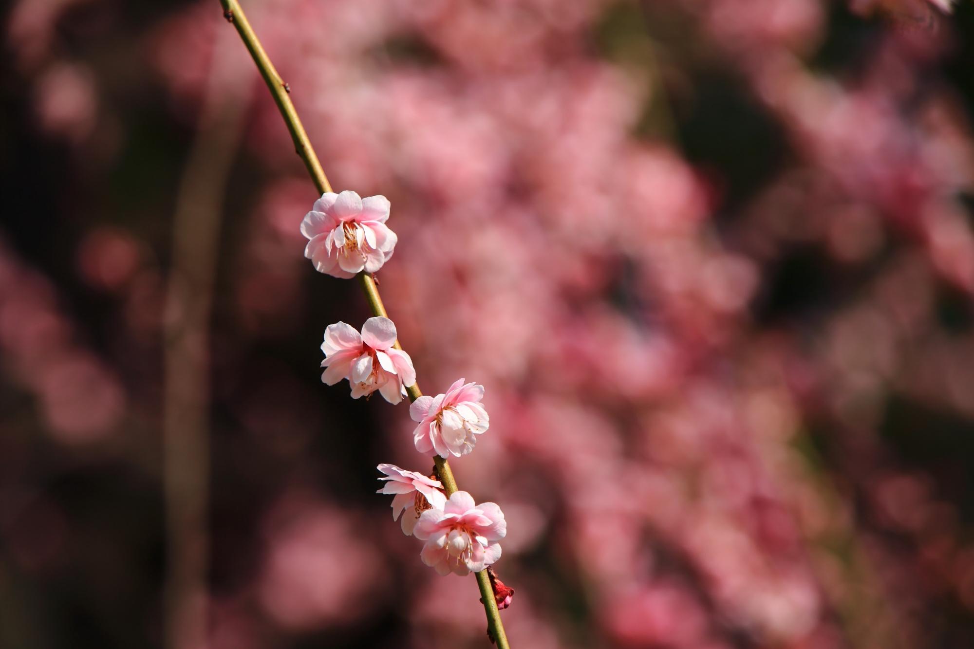 春らしい色合いの梅を背景にした梅の花