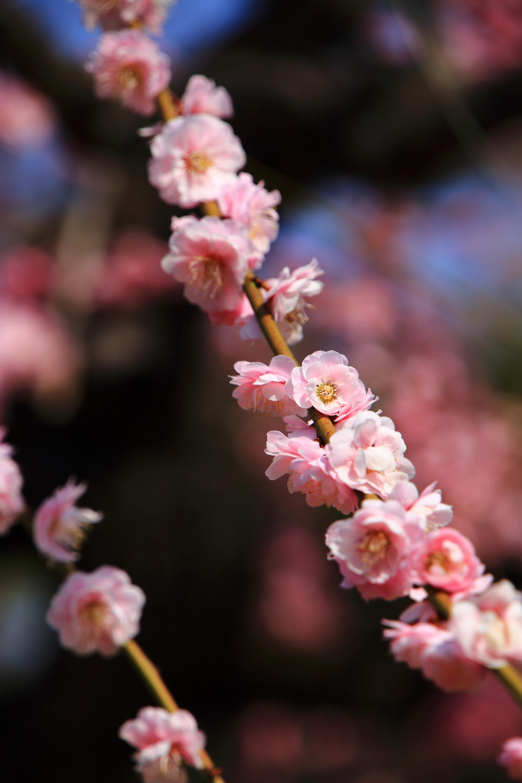 垂れた枝に咲き誇る可愛い梅の花