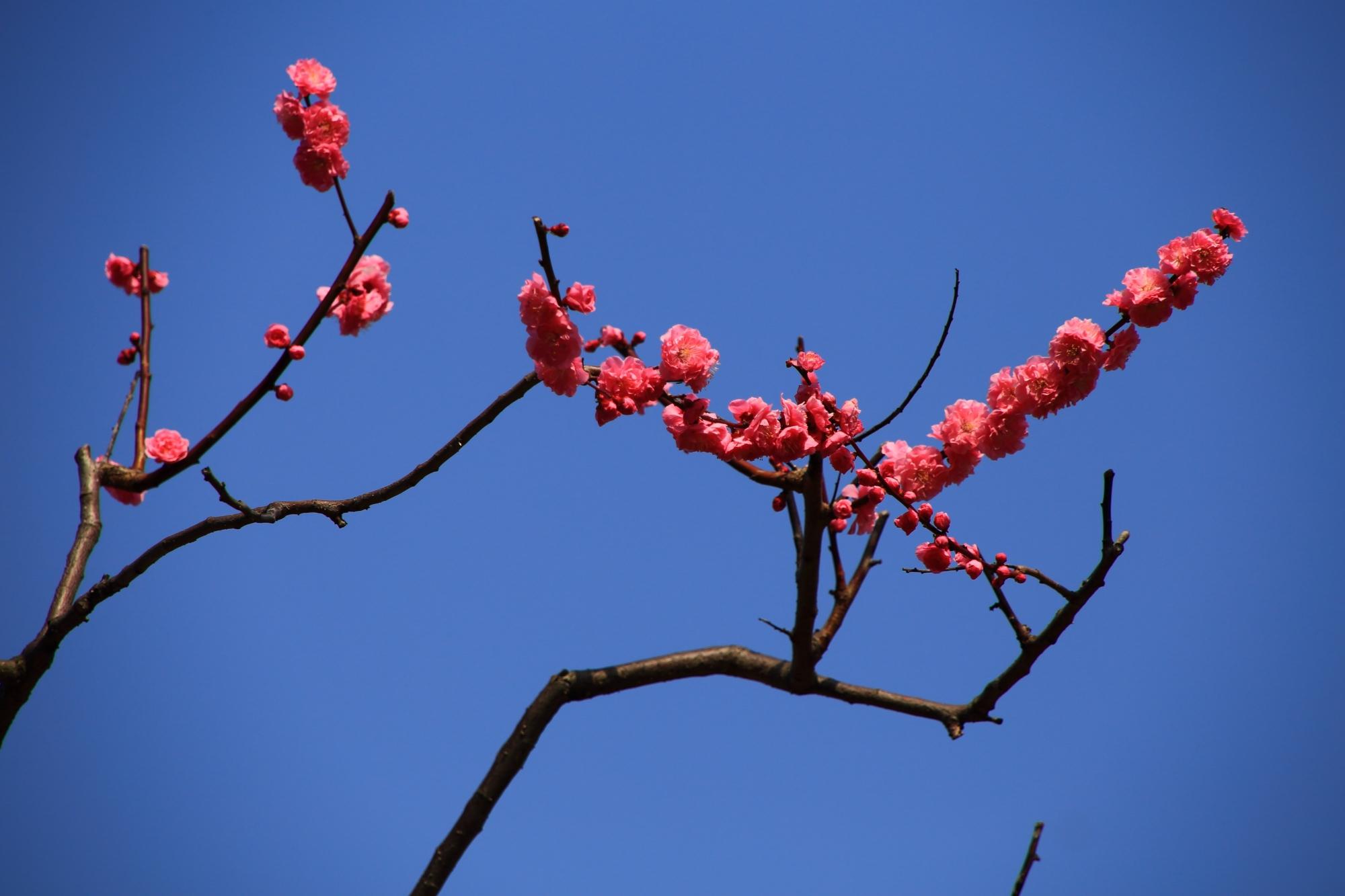 青空に広がる芸術的な梅の枝と花
