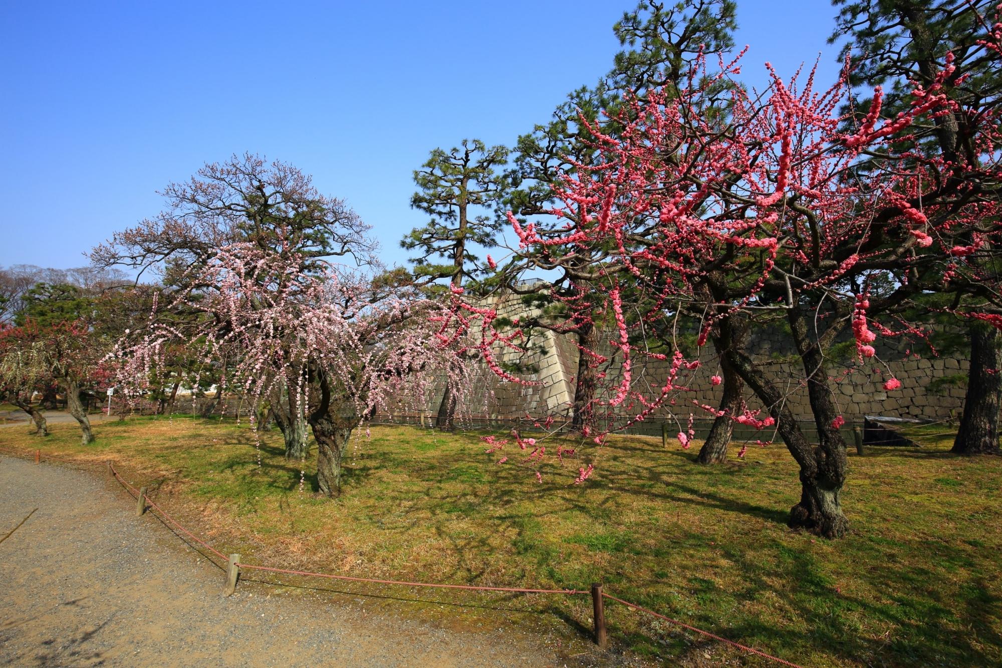 春先の二条城を華やかにつつむ豪快な梅