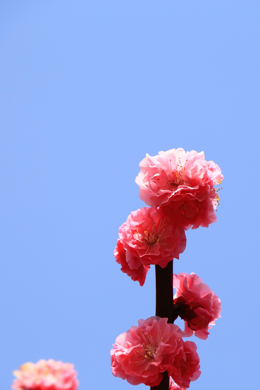 透き通るような花びらの満開の梅