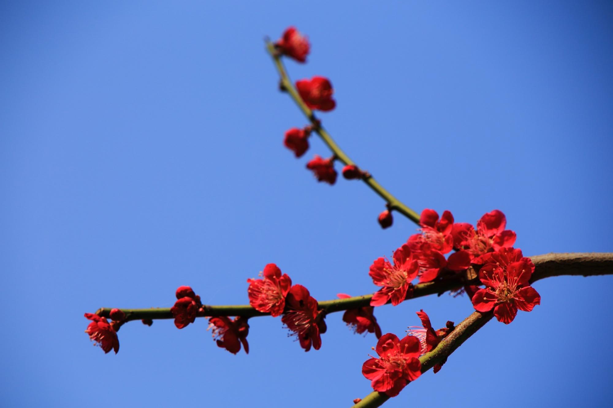 青空を鮮烈にそめる濃いピンクの梅