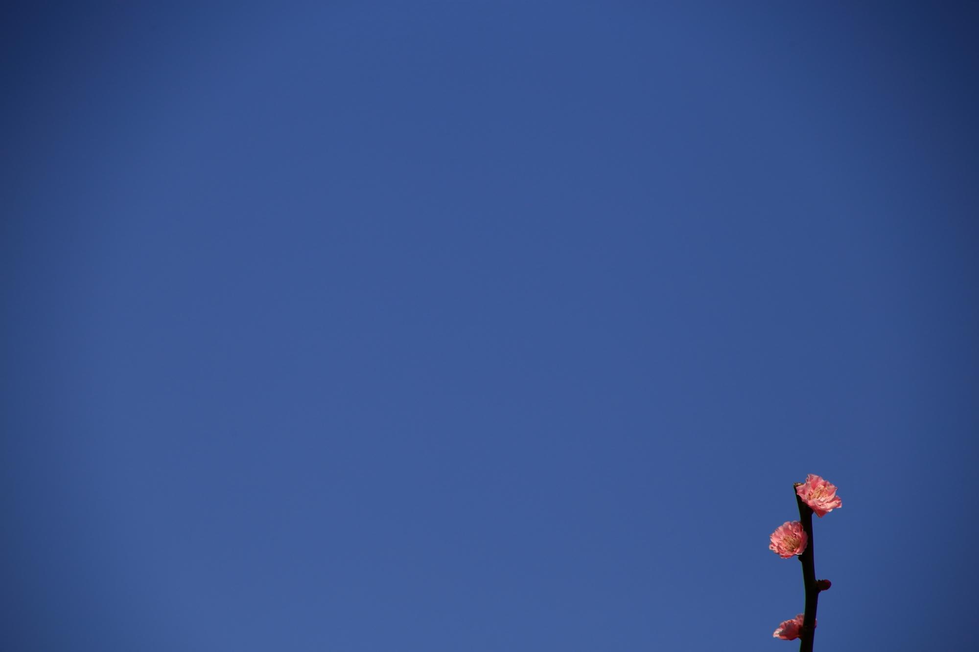 青空にむかって咲く可憐な梅の花