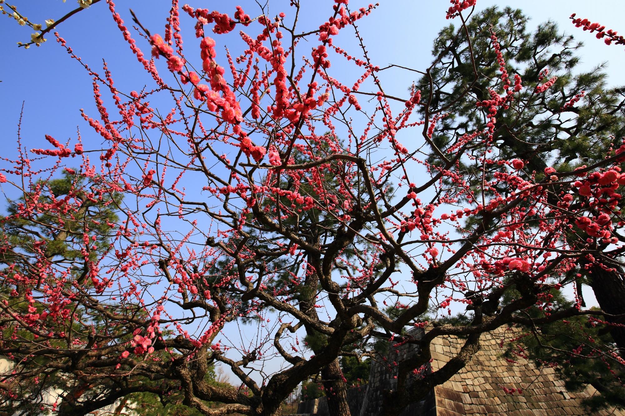 春先の青空と城壁をそめる華やかな梅