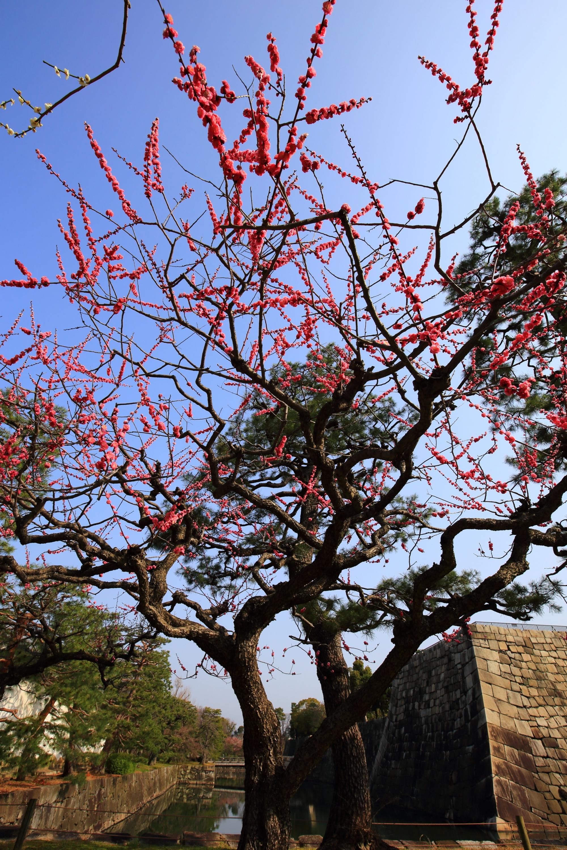 二条城の見事な梅と春先の情景