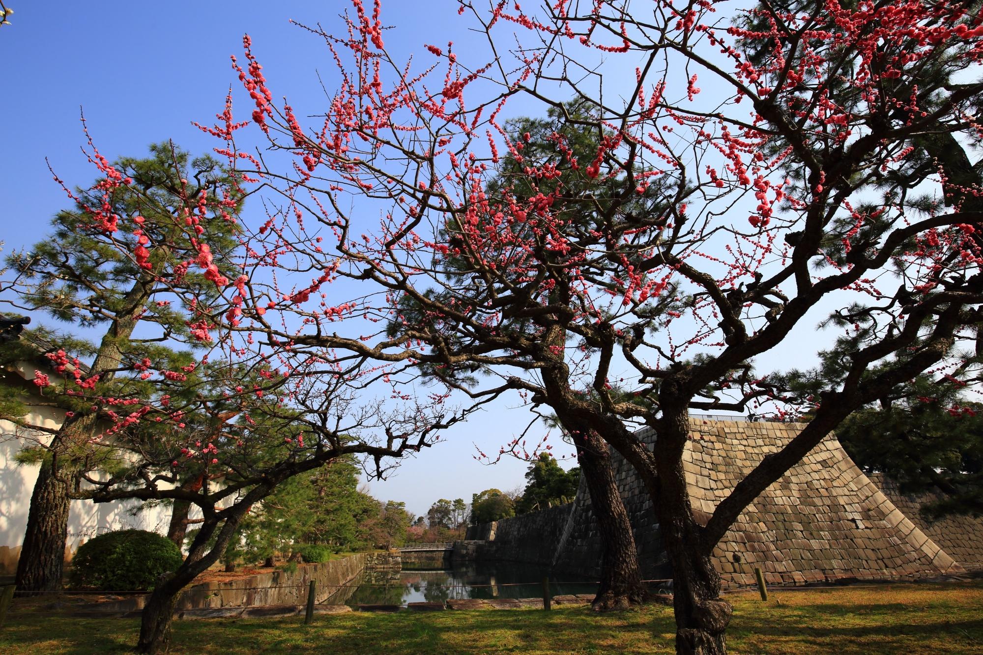 お堀と石垣が引き立てる梅の花