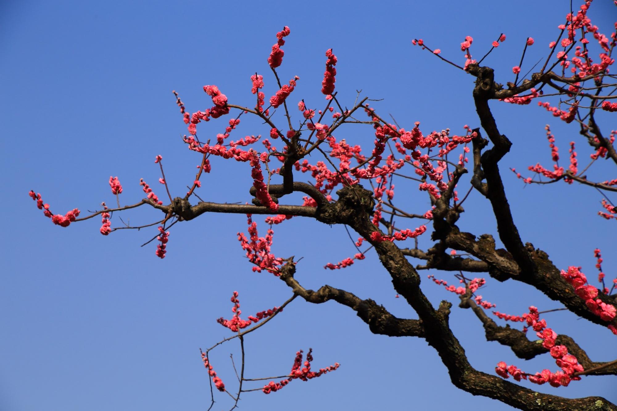 青空をいろんな方向にそめる梅の花と枝