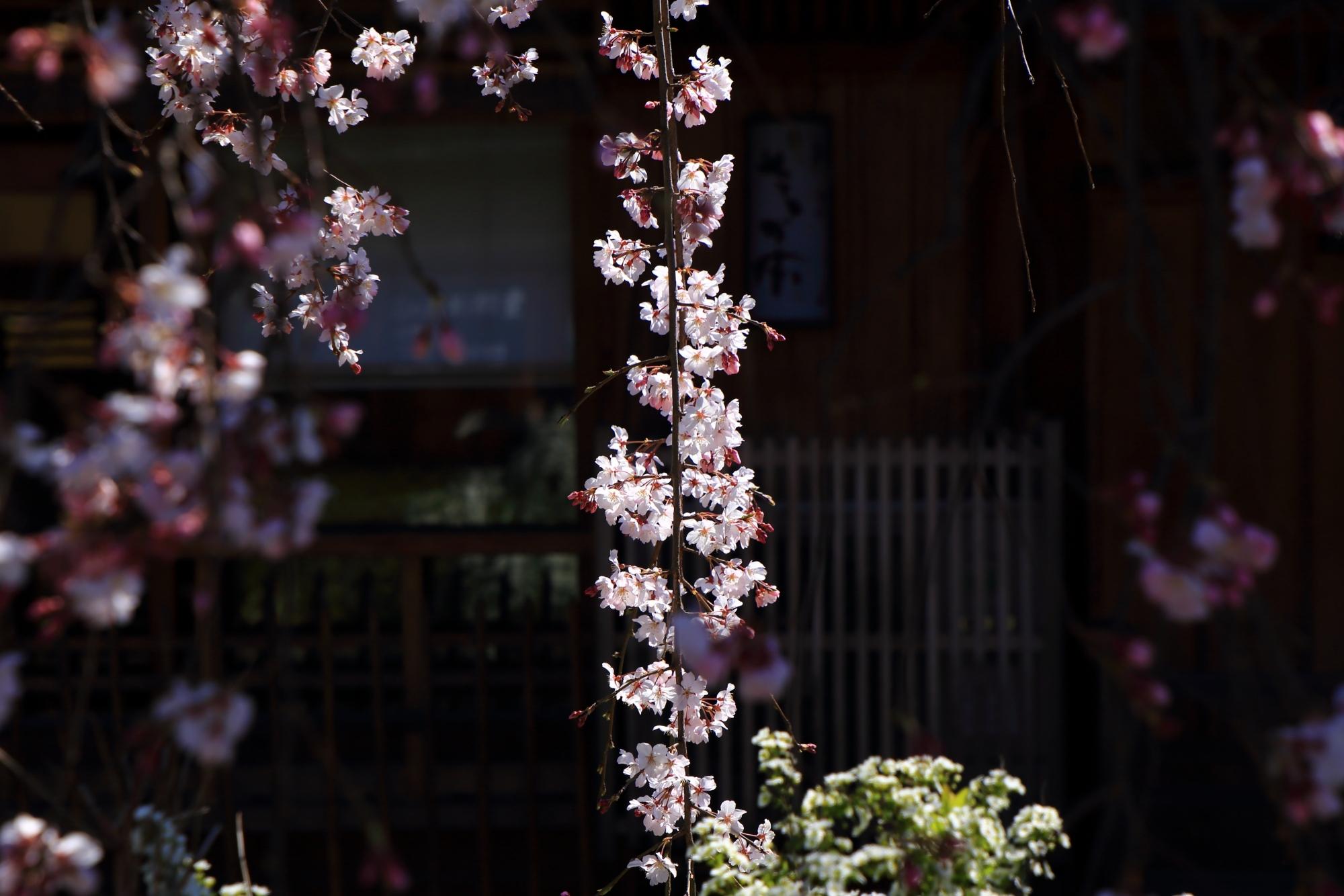 太陽を浴びて煌びやかに輝く桜の花