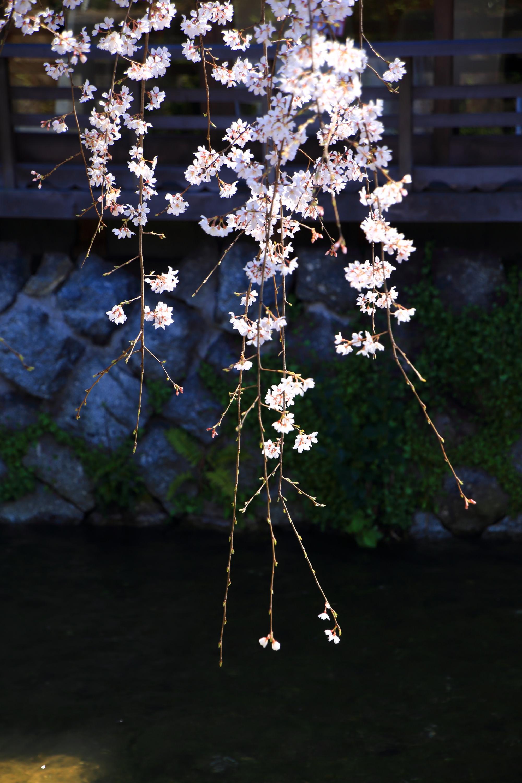 水辺でなびく繊細なしだれ桜