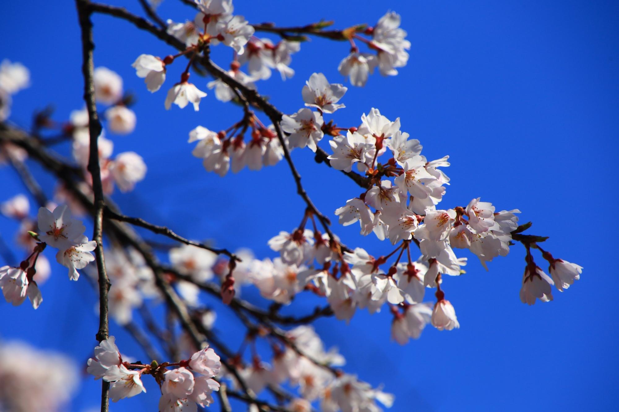 雲一つない青空に映える輝く桜