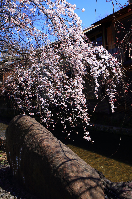かにかくに碑の素晴らしい桜と春の情景