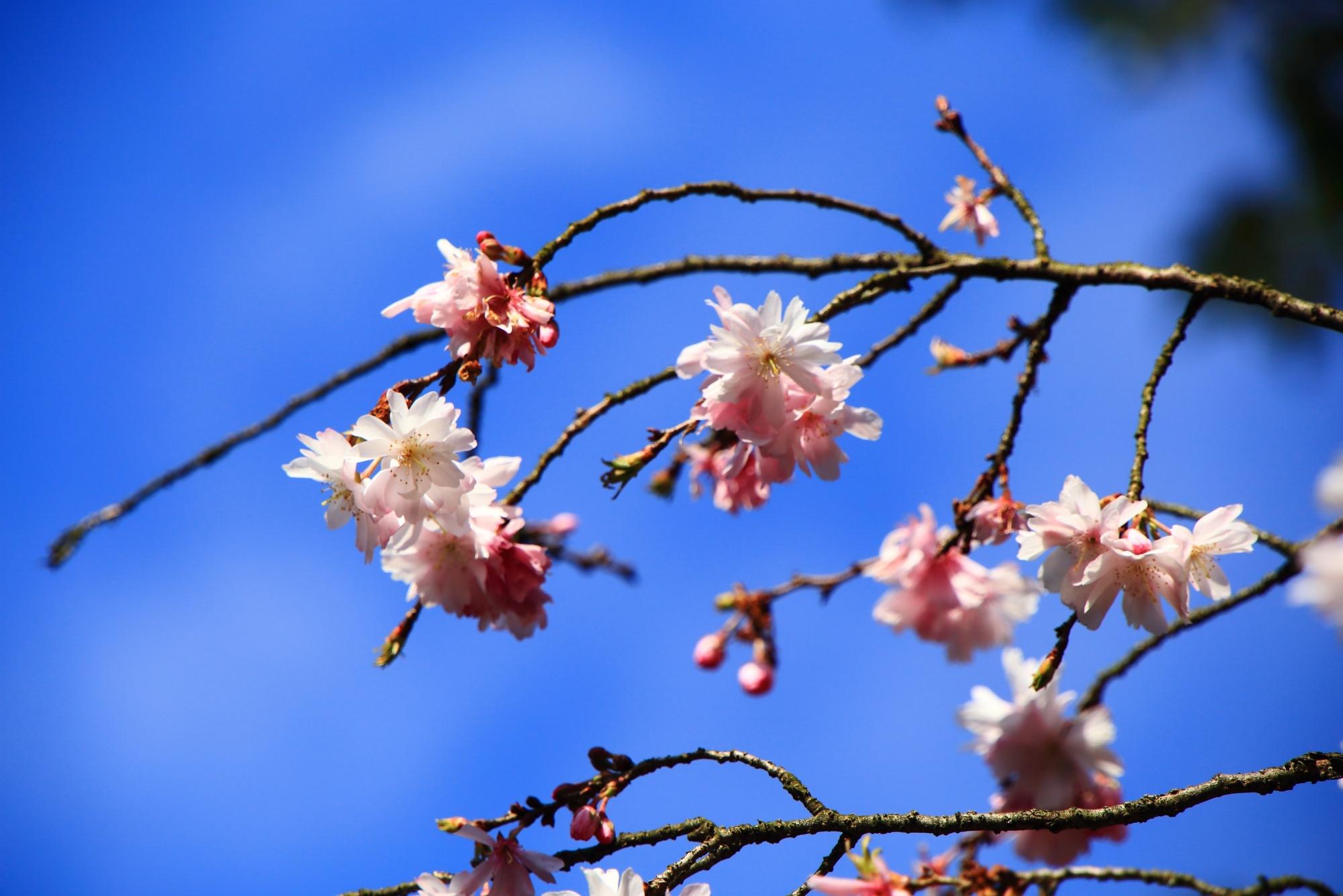 青空に映える華やかなピンクの花