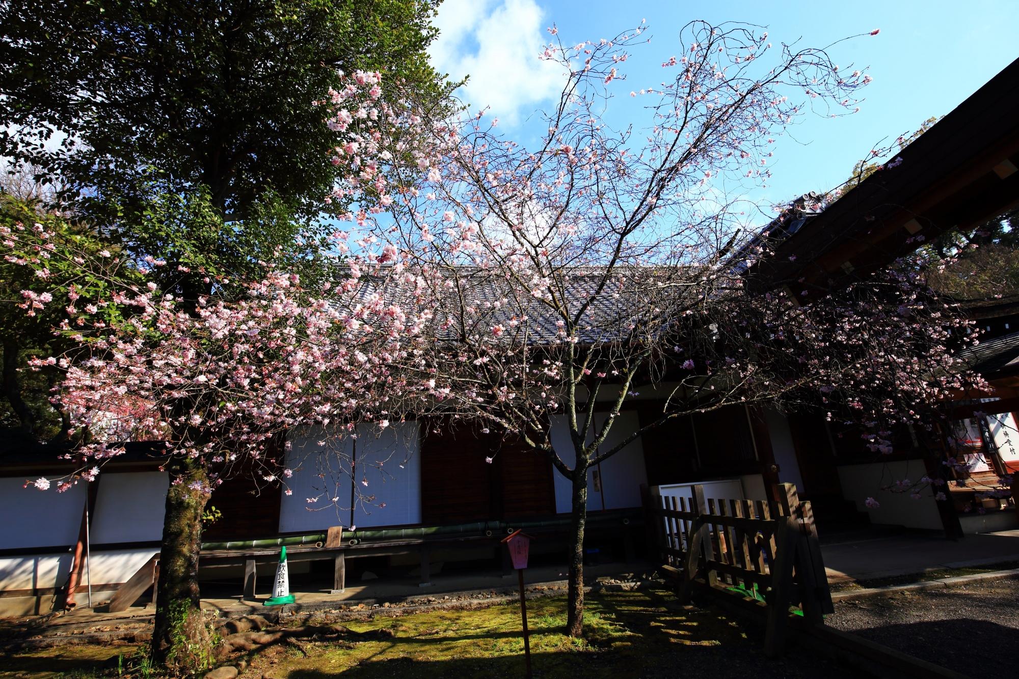 拝殿付近にある「十月桜」という品種の桜