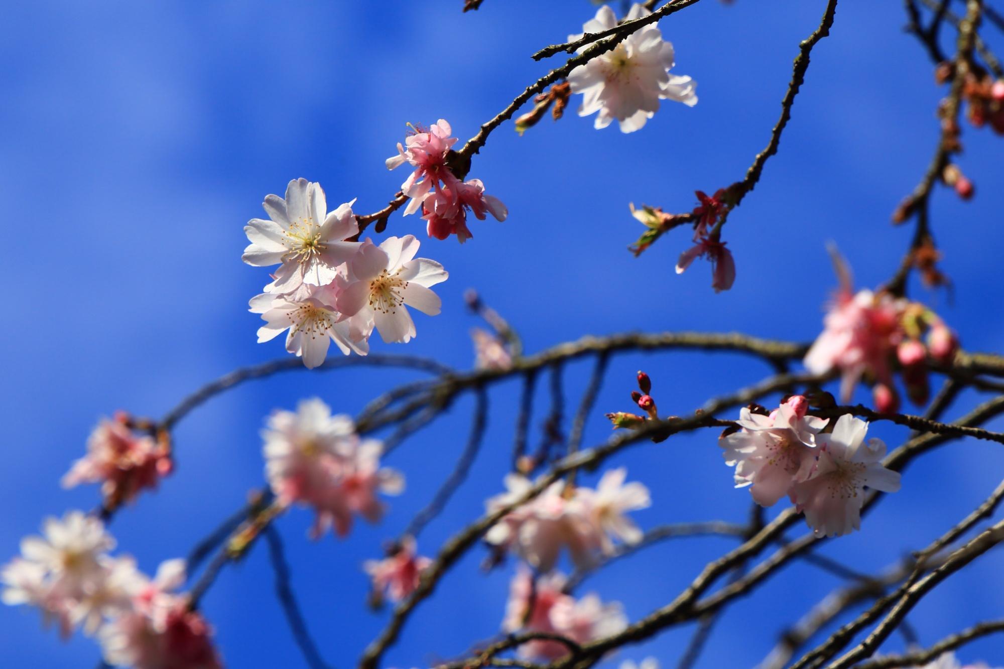 青空を春色に染める可憐な桜