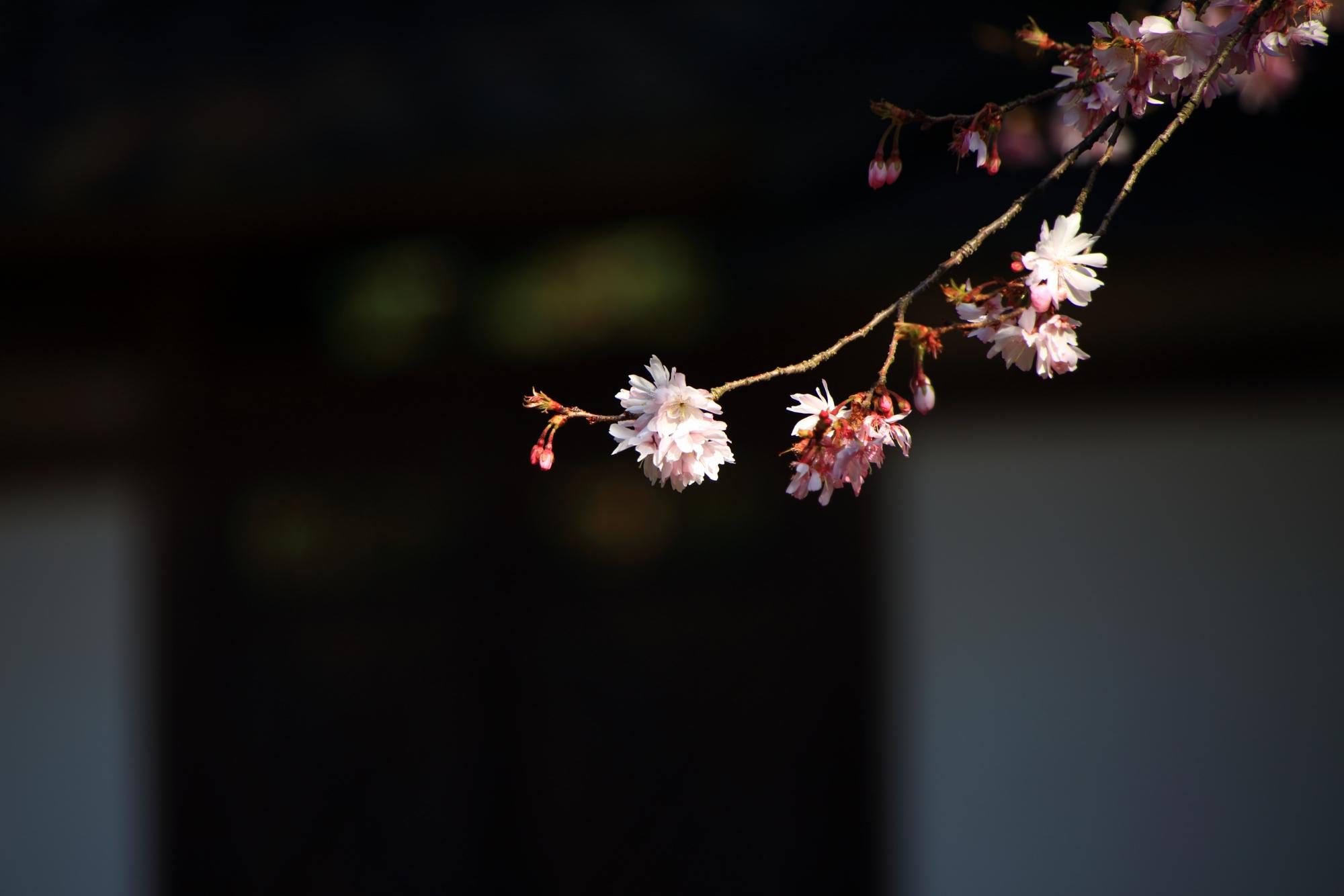 繊細で上品な桜
