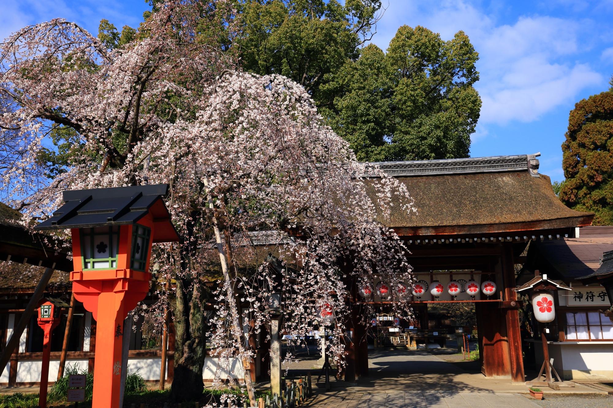 周囲の景色とも相まって風情ある桜