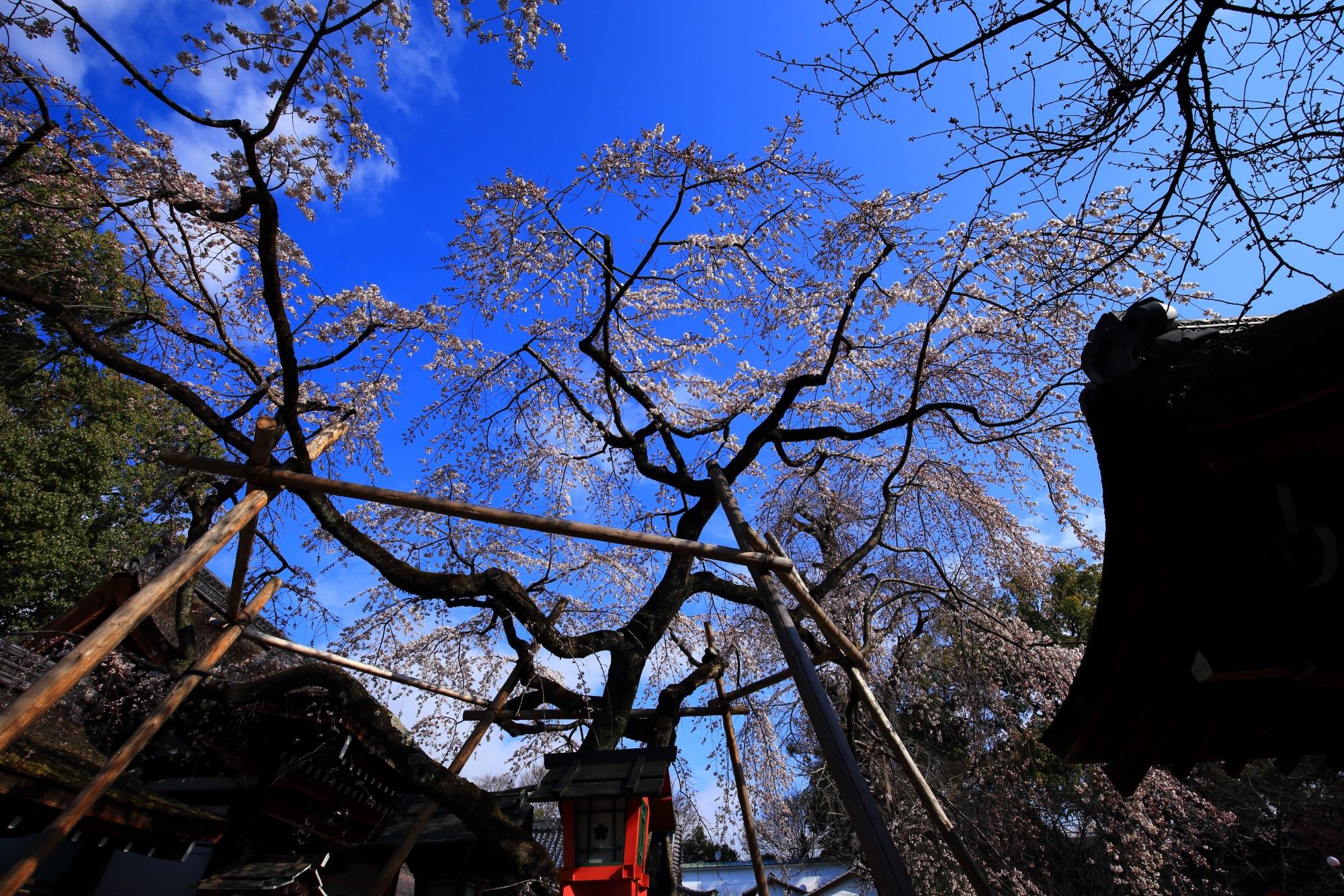 青空を華やかに彩る魁桜