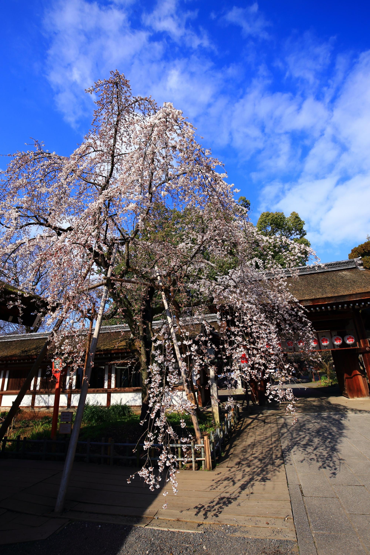 京都に桜シーズン到来を告げる桜