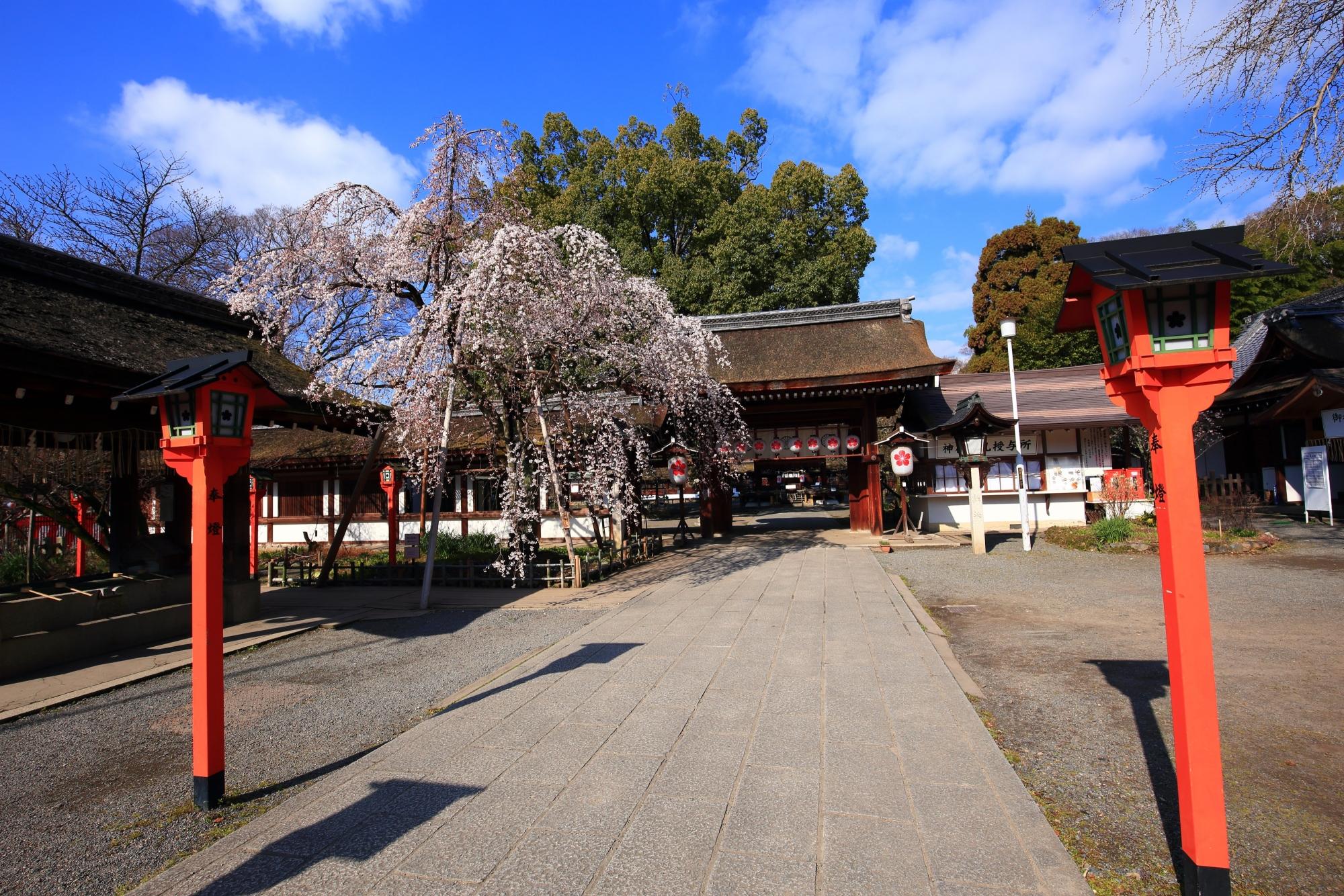 早咲きのしだれ桜として有名な平野神社の魁桜