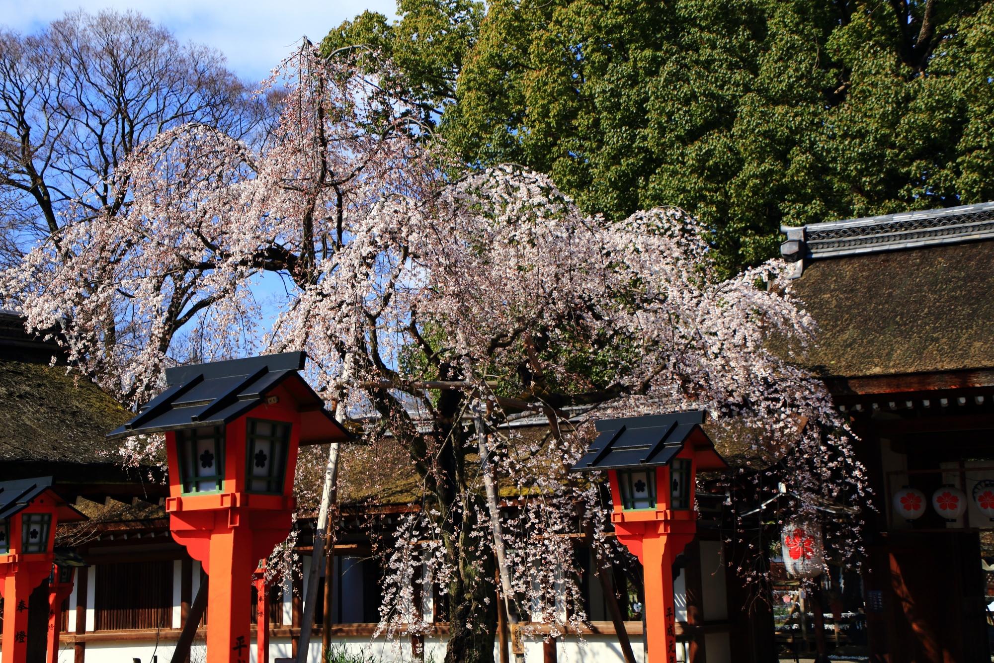 門や燈籠が演出する魁桜
