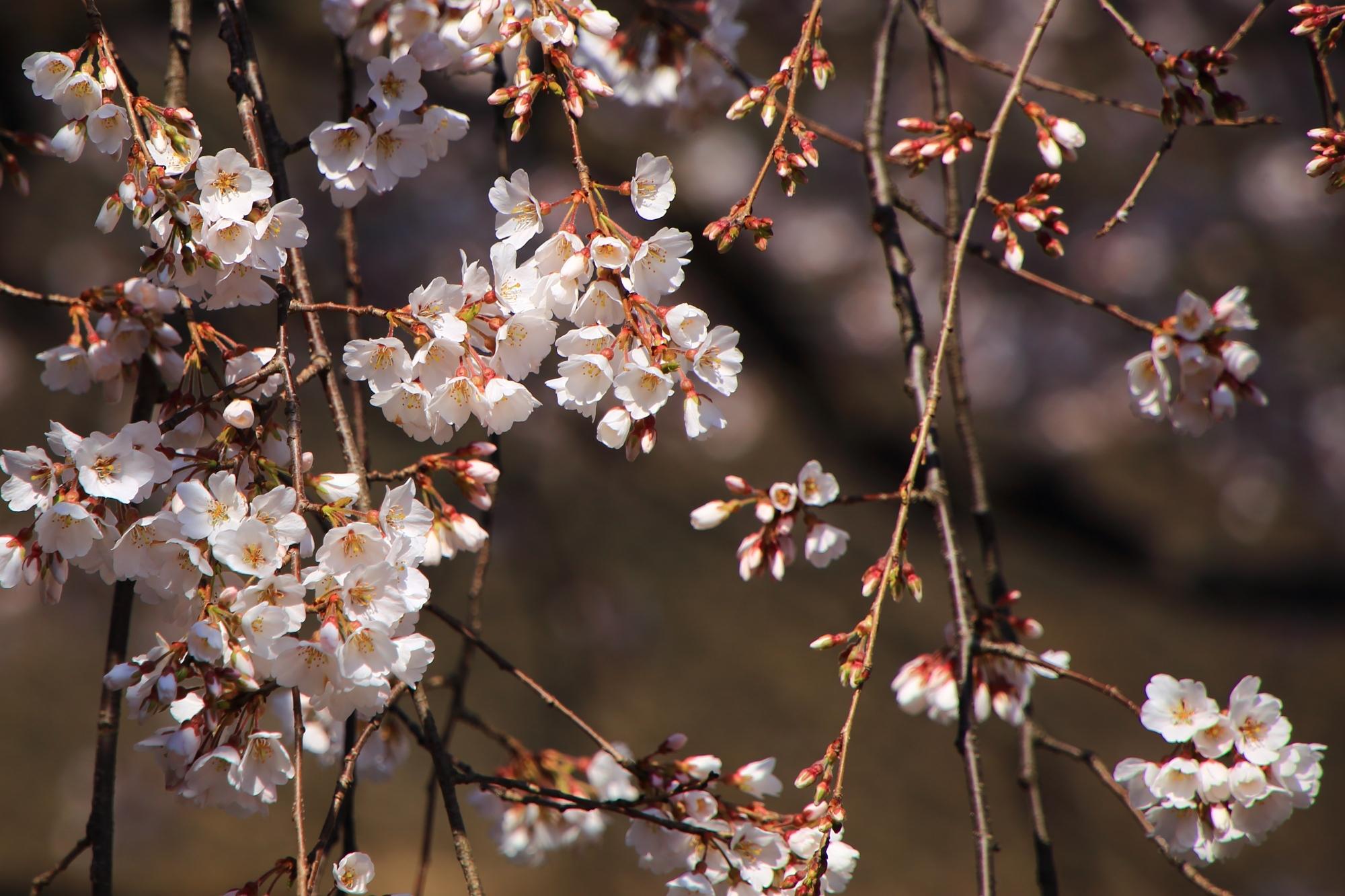 可愛い小さい花をいっぱい咲かせる魁桜