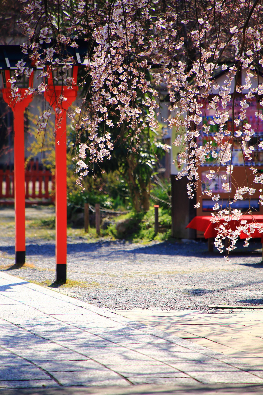 平野神社の素晴らしい魁桜や春の情景