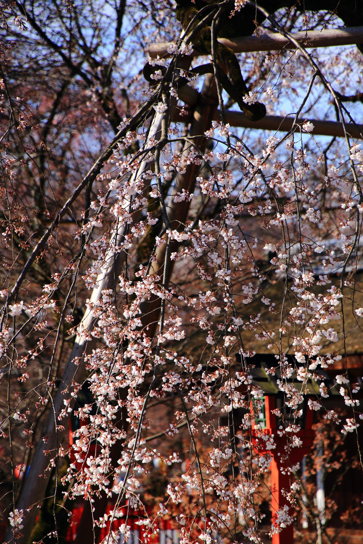 赤い燈籠を淡いピンクにそめる桜