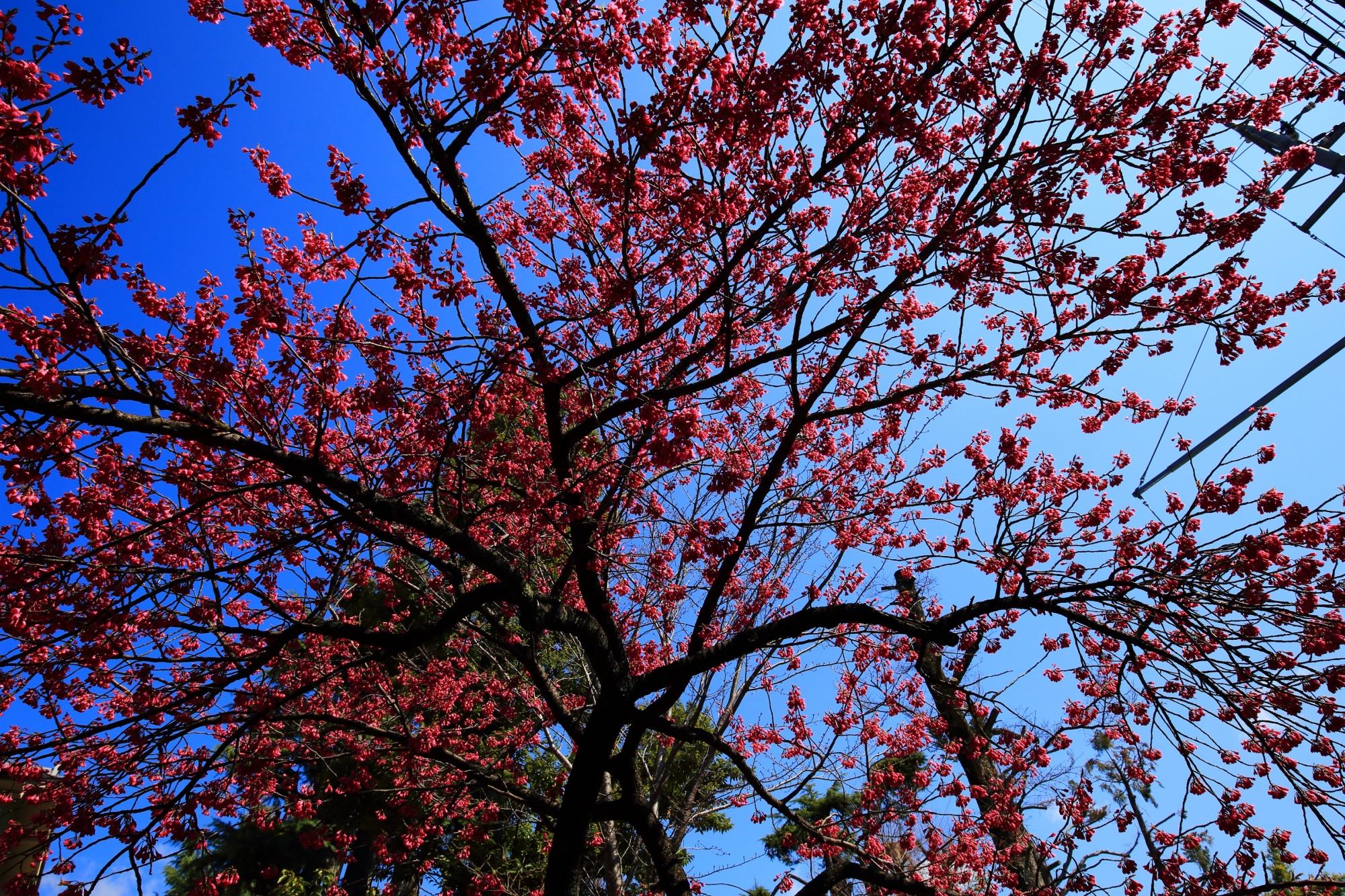 車折神社の透きとおるような青空に映える鮮やかな桜