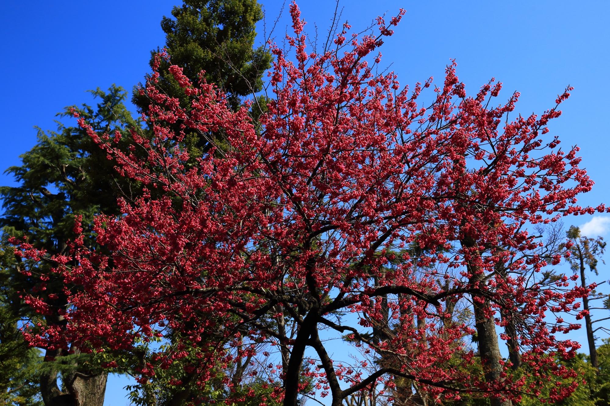 車折神社の早咲きの寒緋桜(かんひざざくら)