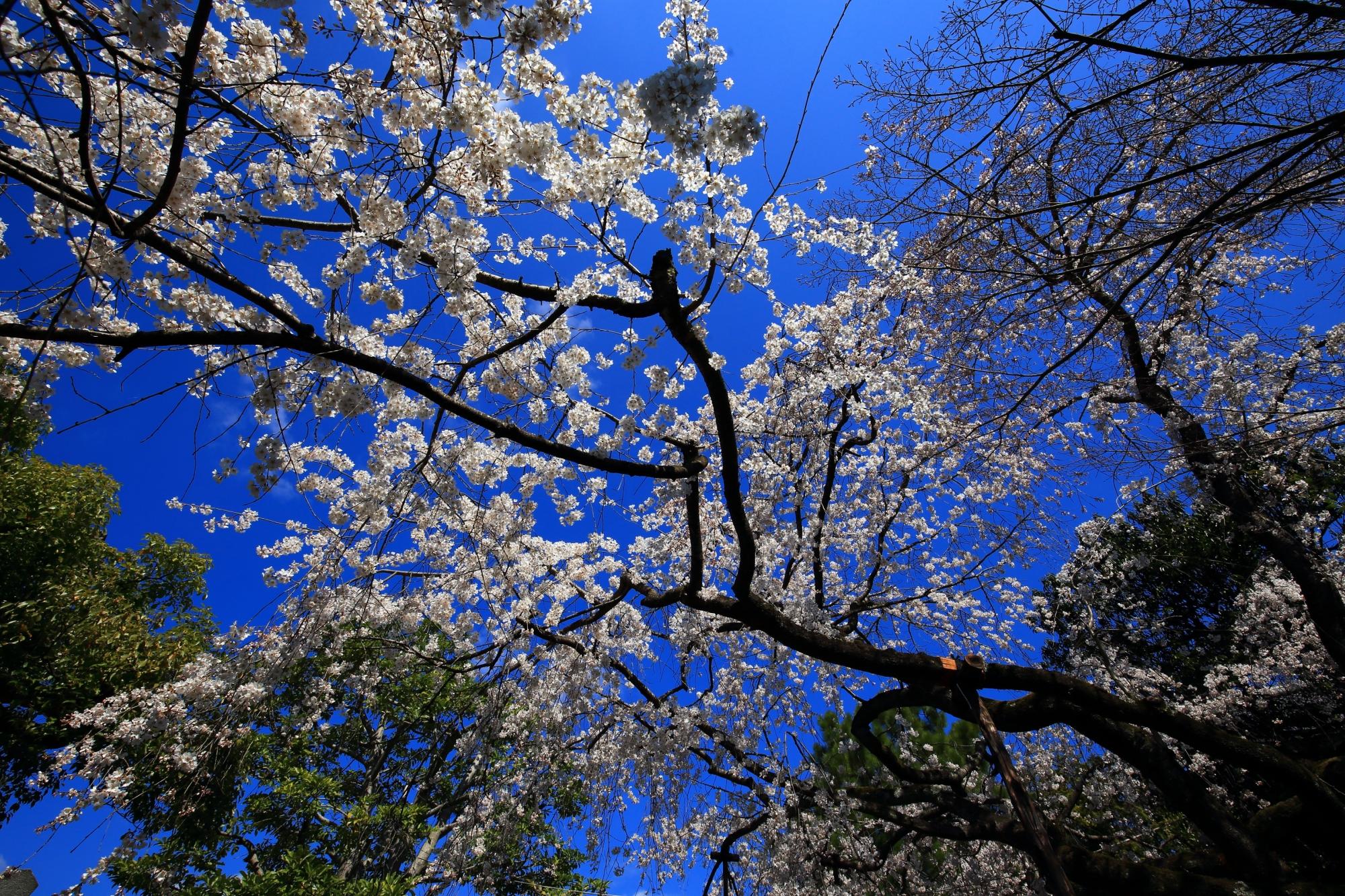 青空に映える渓仙桜の真っ白な花