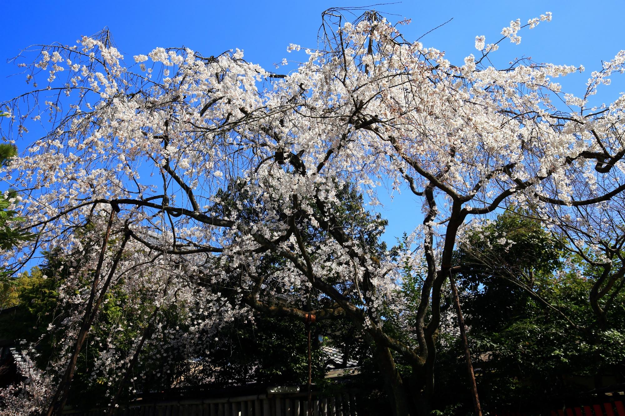 渓仙桜は華やかな白い花を咲かせるしだれ桜