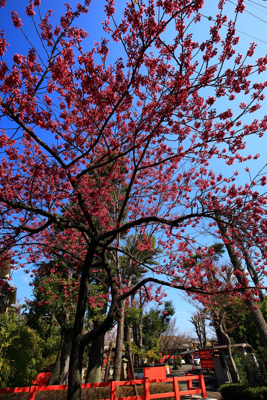 車折神社の爽快な青空の下の満開の寒緋桜